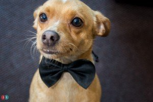 Small dog with bowtie on in Coquitlam wedding